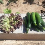Calabacines y Lechuga Roble