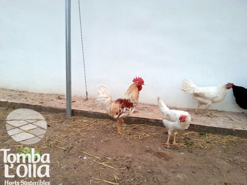 Gallinas ecologicas