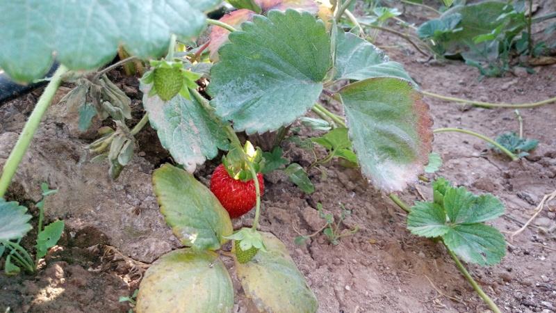 176-fresas tombalolla meliana 01