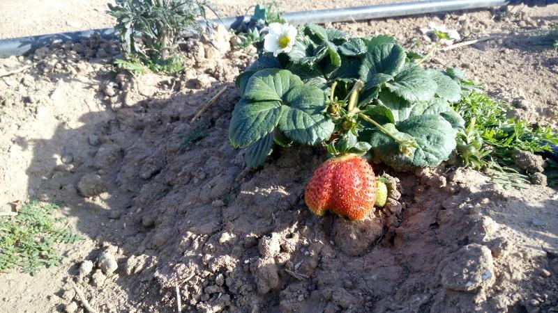 176-fresas tombalolla meliana 02